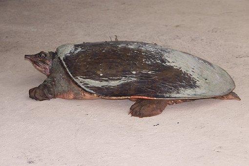 Turtle, Nature, Florida Turtles, Softshell