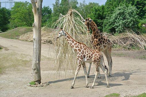 Giraffe, Young, Nature, Growth