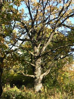 Oak, Tree, Trees, Live Oak, Nature, Botanical, Autumn