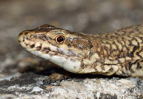 Reptiles, Lizard, Podarcis, Muralis