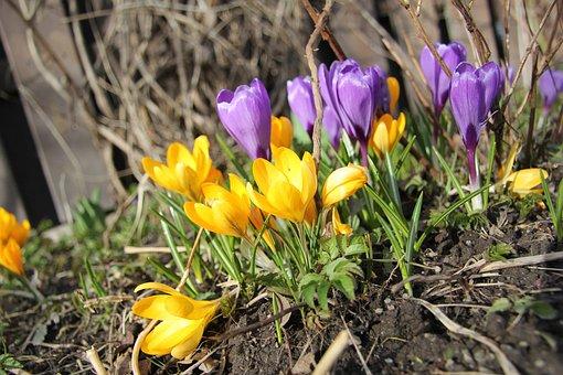Plant, Crocus, Garden, Flower, Purple, Yellow, Spring