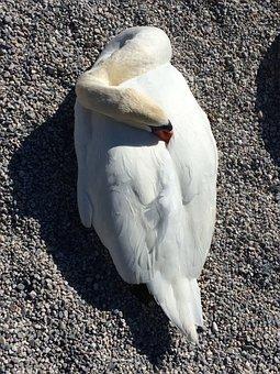Swan, Animal, Bird, Pride, Nature, Sleep