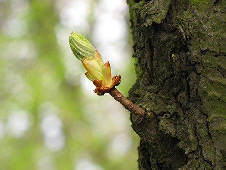 Chestnut, Offshoot, Shoot, Branch, Leaves, Tender
