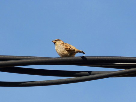 Sparrow, Cable, Sky