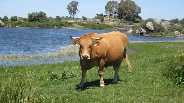 Brown Cow, Grass, More, Firmly, Cow