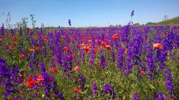Field Of Flowers, Violet, Seestadt Aspern, Purple