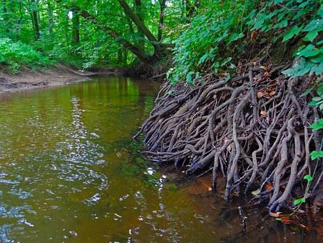 Root, Forest, River, Bach, Bank, Riverside, Brook