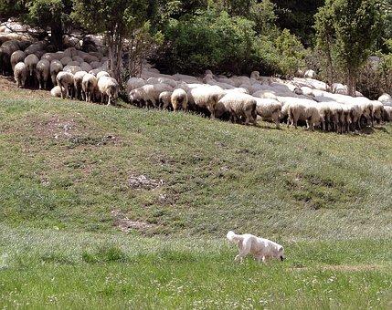 Grazing Sheep, Sheep, Poland, Malopolska