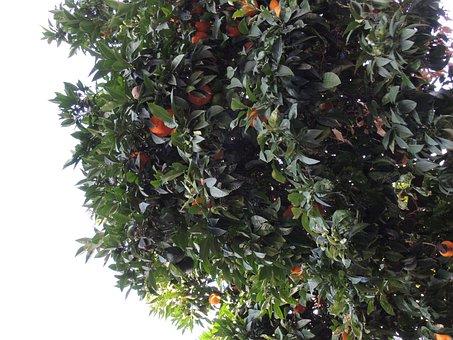 Tree, Mandarins, Plants
