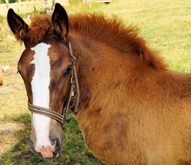 Horse, Foal, Young Animal, Brown, Curious, Pasture