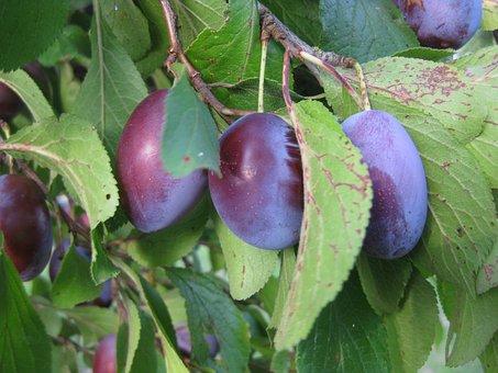 Plums, Cultural Plum, Fruit, Sweet, Plum