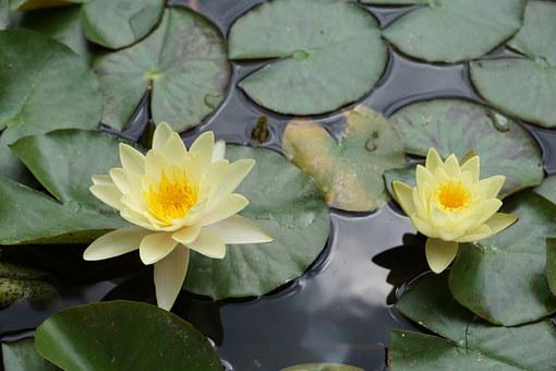 Water Lily, Flower, Yellow, Nature, Water, Pond