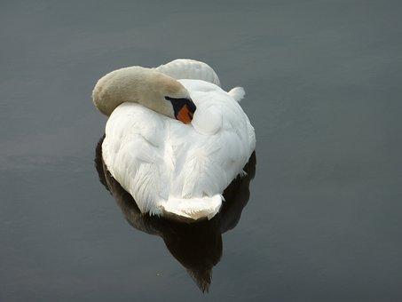 Swan, Sleeping Swan, Nature