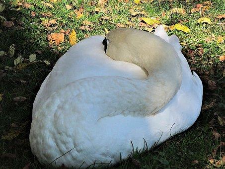 Sleeping Swan, Wild Bird, Nature, Autumn Leaves