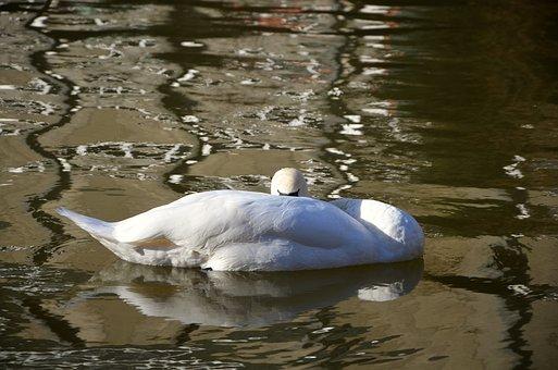 Swan, Sleep, Rest, Lazy, Animal, Water Bird, Waters