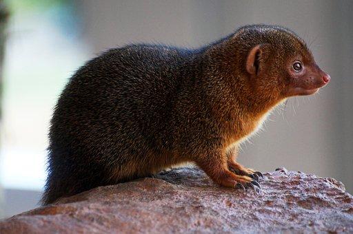 Zwergmanguste, Nager, Rodent, Cute, Animals, Nature