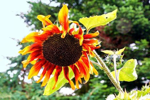 Sun Flower, Bloom, Flower, Autumn, Cores, Nature, Plant