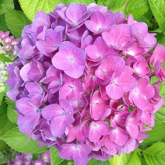 Hydrangea, Blossom, Bloom, Pink, Hydrangeas Ball
