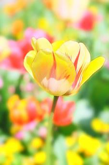 Tulip, Flower, Spring, Nature, Blossom, Bloom, Plant