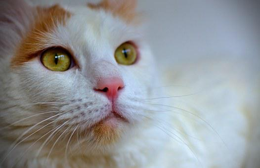 Cat, Turkish Van, White, Pets, Cat Face, White Cat