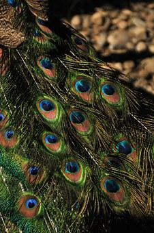 Peacock Feather, Pattern, Tail, Colorful, Plumage