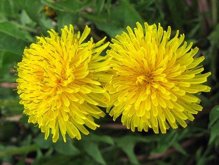 Dandelion, Yellow, Nature, Flowers