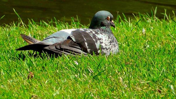 Dove, Meadow, Bird, Nature, Feather, Idyllic