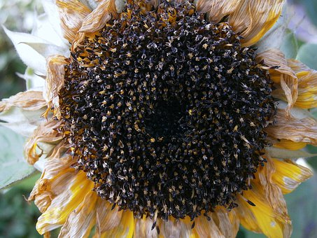Sun Flower, Seeds, Cores, Faded, Withered, Nature