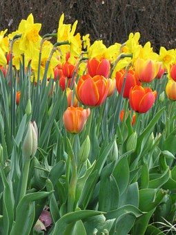 Flowers, Tulips, Spring, Garden, Yellow, Orange