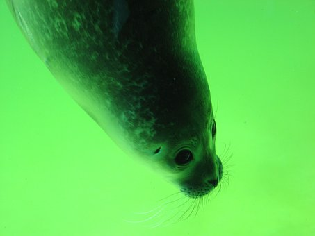 Seal, Head, Snout, Robbe, Aquarium, Seal Station