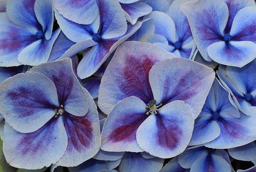 Hydrangea, Hydrangea Flower, Blossom, Bloom