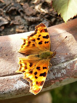 Butterfly, Painted Lady, Species, Insect, Fauna