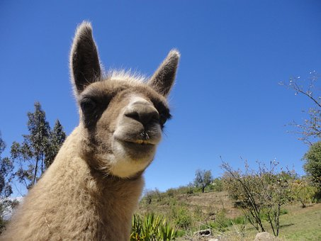 Llamingo, Ecuador, Mammal, Andes, Andina, Animals