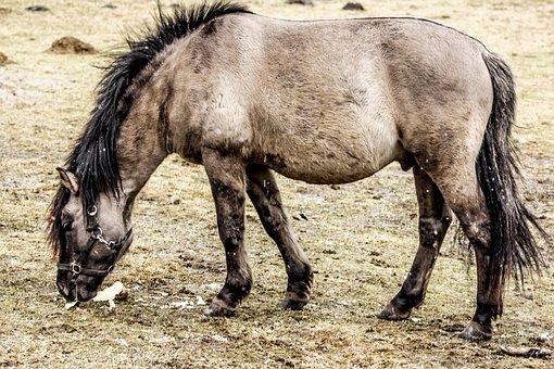 Wild Horse, Tarpan, As The Undomesticated Tarpan, Meal