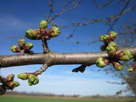 Cherry Tree, Buds, Prunus, Cerasus, Spring, Nature