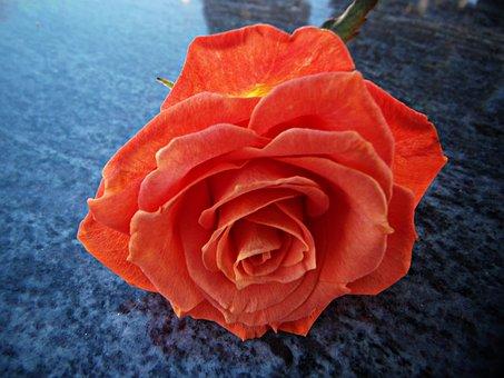 Rosa, Pink Orange, Petals, Reflection, Marble