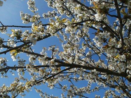 Prunus Cerasus, Cherry, Tree, Spring, Blossom, Garden