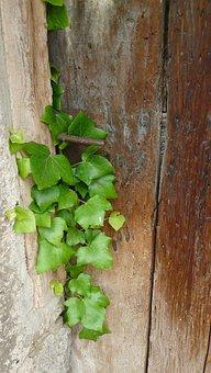 Ivy, Wooden Door, Old, Input, Entrance Door, Verwuchert