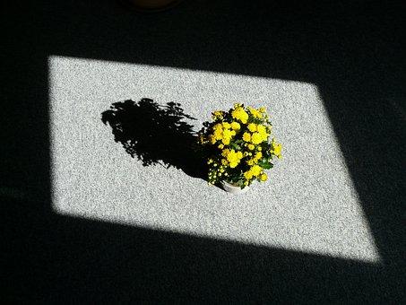 Houseplant, Aster, Blumenstock, Light, Shadow