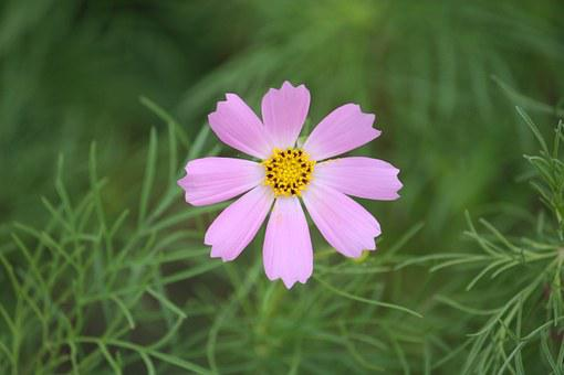 Cosmos, Country, Flowers, The Korean Countryside, Korea