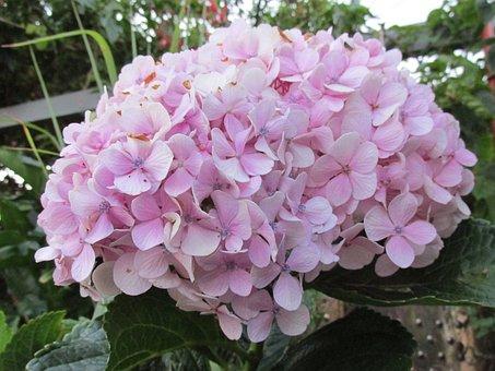 Flower, Garden, Hydrangea, Hornamental Plant, Lilaz