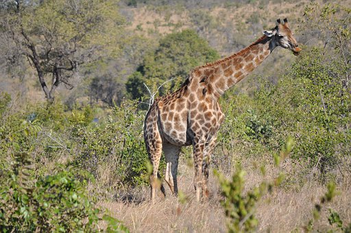 Giraffe, Animal, Savannah, Spotted, Long Jibe