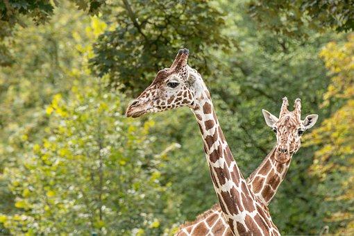 Giraffes, Zoo, Safari, Animal, Mammal, Head