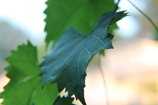 Leaves, Nature, Vine, Muscadine, Green, Natural, Plant