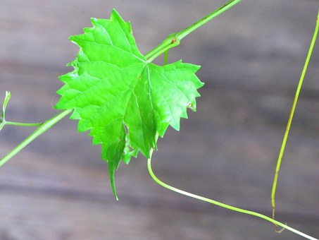 Muscadine, Vine, Floral, Plant, Natural, Botanical