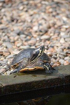 Turtle, Small, Tortoise, Animal, Wildlife, Wild