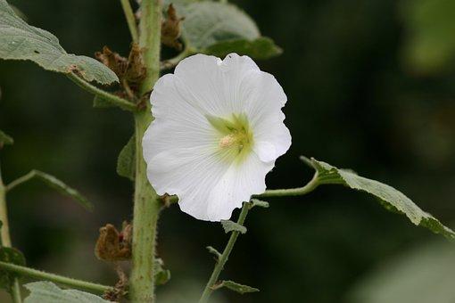 Flower, Pink, Trémière, White