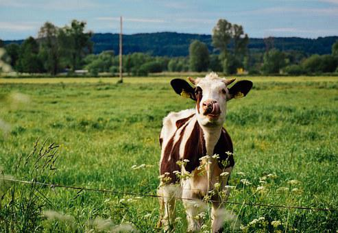 Cow, Farm, Meadow, Agriculture, Animal, Cattle, Nature
