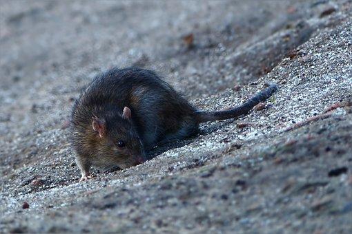 Animal, Rat, Foraging, Close