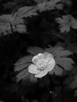 Flower, Buttercup, Black And White